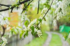 开花在庭院里的鸟樱桃树 库存照片