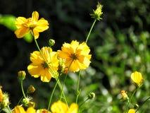 开花在庭院里的黄色波斯菊花 选择聚焦 库存图片