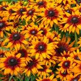 开花在庭院里的黄色,橙色和紫色coneflower 库存照片