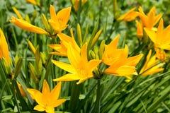 开花在庭院里的黄色黄花菜(萱草属植物middendofii) 免版税图库摄影