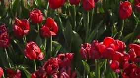 开花在庭院,射击的关闭里的郁金香 影视素材
