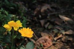 开花在庭院,拷贝空间里的美丽的黄色花 免版税库存图片
