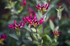 开花在庭院,春季里的桃红色忍冬属花 桃红色loni 免版税库存图片