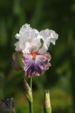 开花在庭院, Giardino dell& x27里的虹膜;虹膜在佛罗伦萨 图库摄影