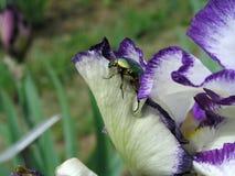 开花在庭院, Giardino dell& x27里的虹膜;虹膜在佛罗伦萨 免版税库存照片