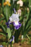 开花在庭院, Giardino dell& x27里的虹膜;虹膜在佛罗伦萨 免版税库存图片