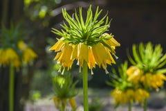 开花在庭院, spr里的皇家冠或贝母imperialis 库存图片
