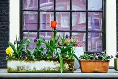 开花在弹簧期间的红色郁金香种植在房子窗口前面的一个脏的白色花瓶 库存图片
