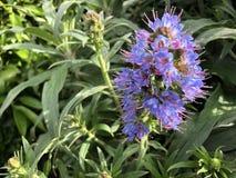 开花在您的眼睛前的不可思议的紫色花 库存照片
