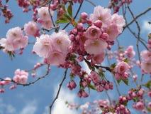 开花在斯德哥尔摩的日本樱桃 库存图片