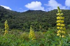 开花在新西兰的黄色羽扇豆属花 免版税库存图片