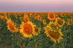 开花在日出的向日葵领域在丹佛国际Ai附近 免版税库存照片