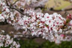 开花在日本的佐仓花束 库存照片