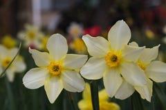 开花在日本的春天的两黄水仙 图库摄影