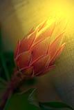 开花在日落光的仙人掌花宏指令 免版税库存照片