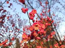 开花在早晨阳光内的李子花和电灯泡 库存图片