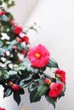 开花在早期的春天在华盛顿,D的美丽的山茶花 C 库存照片