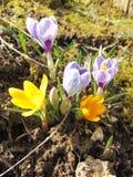 开花在早期的春天的番红花 库存照片