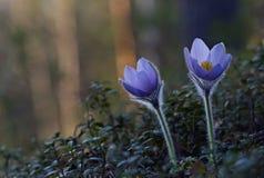 开花在早期的春天的白头翁属patens 免版税图库摄影