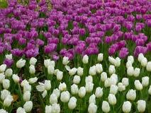 开花在早期的春天的白色和紫色郁金香的领域 免版税库存照片