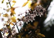 开花在早期的春天的白色樱桃花 免版税库存图片