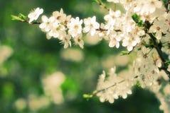 开花在早期的春天的苹果树 库存照片