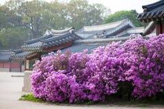 开花在昌德宫宫殿的杜鹃花在汉城,韩国 库存图片