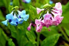 开花在春天太阳的可爱的桃红色和蓝色弗吉尼亚会开蓝色钟形花的草 免版税库存照片