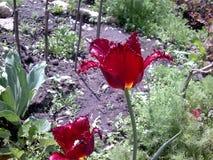 开花在春天庭院的惊人深红郁金香 库存图片