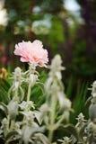 开花在春天庭院里的桃红色牡丹,种植在混杂的边界 库存照片