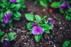 开花在春天特写镜头的庭院紫罗兰 背景蓝色云彩调遣草绿色本质天空空白小束 免版税库存照片