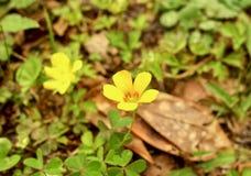 开花在春天的一朵小黄色花的宏指令 免版税图库摄影