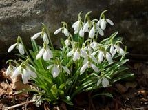 开花在春天的共同的snowdrops Galanthus nivalis 免版税库存照片