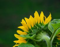 开花在春天的向日葵 免版税图库摄影