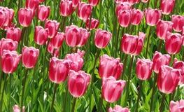 开花在春天的很多红色郁金香在庭院里 免版税库存图片