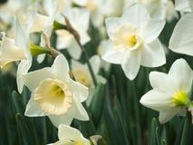 开花在春天的春天白色黄水仙 免版税库存照片