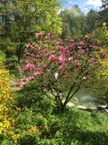 开花在春天的木兰树 免版税图库摄影