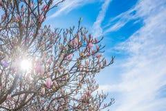 开花在春天的木兰 库存照片