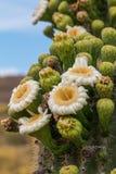 开花在春天的柱仙人掌仙人掌 库存图片
