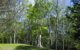 开花在春天的树 免版税库存图片