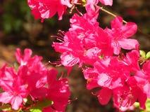 开花在春天的桃红色木槿 库存照片