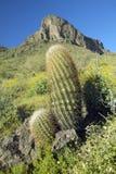 开花在春天的桶式仙人掌和沙漠花在Picacho峰顶在图森, AZ北部的国家公园 免版税库存照片