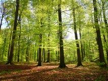 开花在春天的森林 免版税库存图片