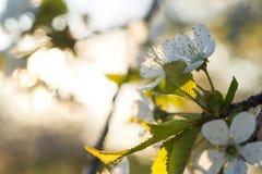 开花在春天的樱桃树花 免版税库存照片