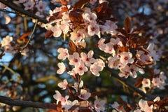开花在春天的樱桃花 免版税图库摄影