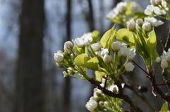 开花在春天的洋梨树 库存照片