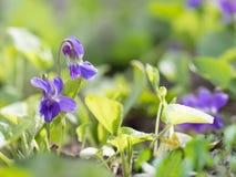 开花在春天的特写镜头紫色花在狂放的草甸 背景蓝色云彩调遣草绿色本质天空空白小束 图库摄影