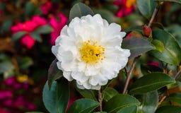 开花在春天的白色山茶花 免版税库存图片