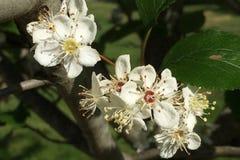 开花在春天的白色野黑樱桃花 库存照片