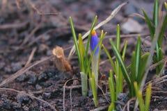 开花在春天的紫色番红花花 图库摄影